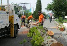 Вырубка деревьев в Ташкенте