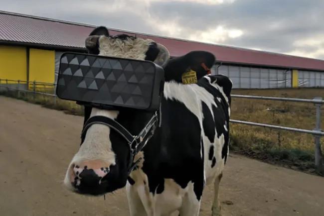 Корова и очки